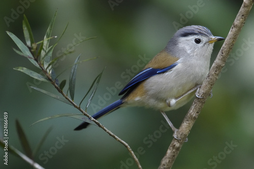 Foto op Aluminium Vogel Blue-winged Minla bird