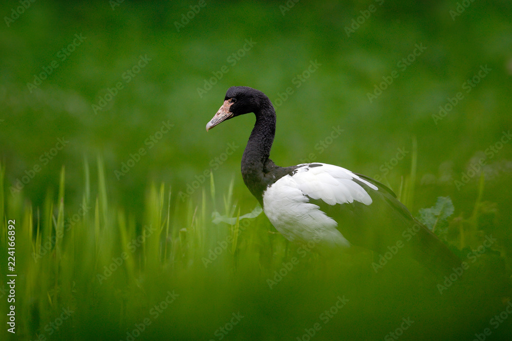 Magpie goose, Anseranas semipalmata, black and white goose duck from Australia in the green grass. Bird in the habitat. Wildlife scene from nature. Animal hidden in the green vegetation.