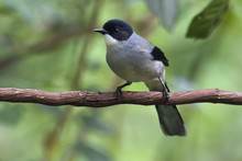 Black-headed Sibia Bird