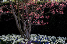 Close Up Of Tree With Red Foliage In A Bed Of White Narcissus And And Blue Grape Hyacinths.