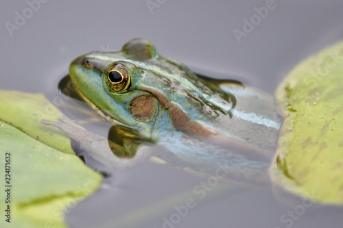 Eastern golden frog