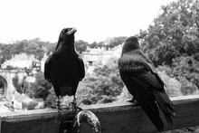 Two Raven On A Park Bench Over...