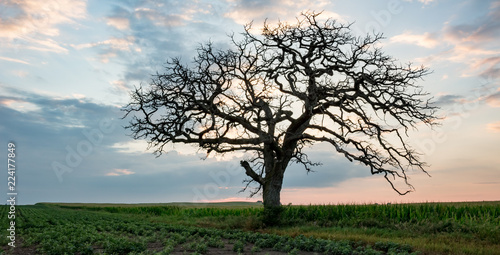 Fotografie, Obraz  Silhouette of a bare, gnarled old tree standing in a field