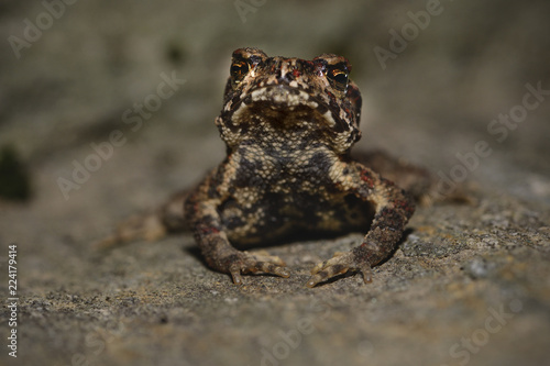Small unknown toad china