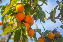 Ripe Orange Persimmons On The ...