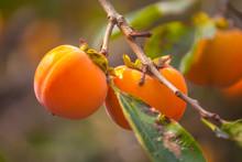 Ripe Orange Persimmons On The Persimmon Tree, Fruit
