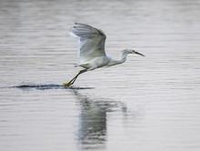 Snowy Egret, Egretta Thule