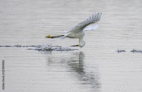 Valokuvatapetti Snowy egret, Egretta thule