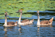 Mute Swans Cygnets Swimming In Lake Leelanau Michigan With Lily Pads
