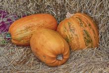 Three Pumpkins On Straw In A Barn. Halloween