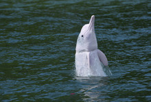 Chinese White Dolphin