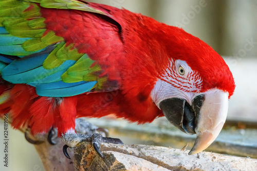 Staande foto Papegaai portrait of a red parrot in a zoo