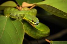White Lipped Pit Viper On Leaf...