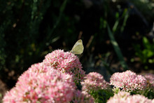 Yellow Butterfly On A Pink Flower. Butterfly In The Garden. Dried Flowers