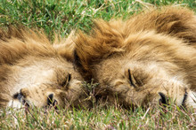 Two Lion Brothers Sleep Together With Their Heads Against Each Other Under The Sun. Ngorongoro Crater Conservation Area Tanzania.
