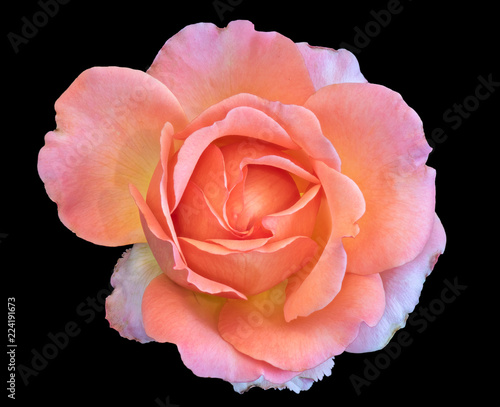 Foto op Canvas Bloemen Pastel color fine art still life bright floral macro flower portrait image of a single isolated orange pink wide open rose blossom, black background,detailed texture,vintage painting style