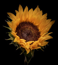 Vintage Isolated Yellow Sunflo...