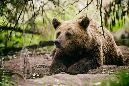 bär liegt auf bem boden in einem wald