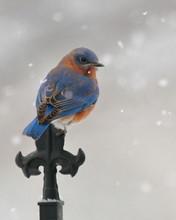 A Male Eastern Bluebird Perche...