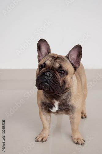 Foto op Plexiglas Franse bulldog Black masked fawn french bulldog puppy is standing on tiled floor. Pet animals.
