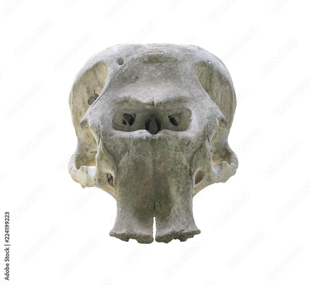 Elephant skull isolated on white background.