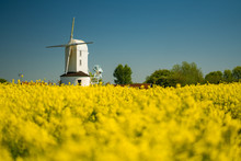 White Windmill In Yellow Rapes...