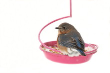 A Female Eastern Bluebird Eats Mealworms From The Feeder On A Cold And Snow Winter Day.