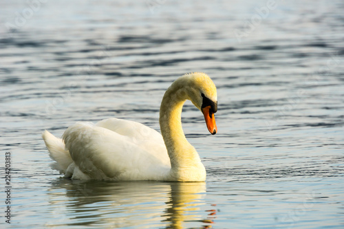 Side view of beautiful swan on silent water