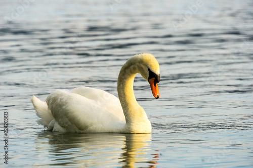 Foto op Plexiglas Zwaan Side view of beautiful swan on silent water