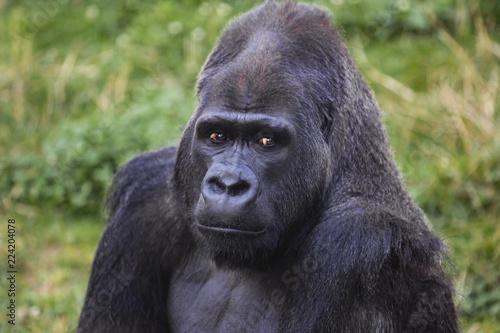 Fotografie, Obraz  Silverback Male Gorilla Portrait