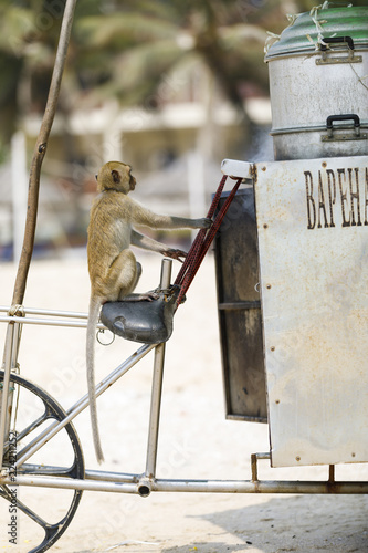 Foto op Plexiglas Aap Monkey sits on a bicycle in a beach