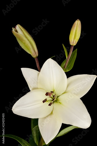 Fotografia  white lily flower