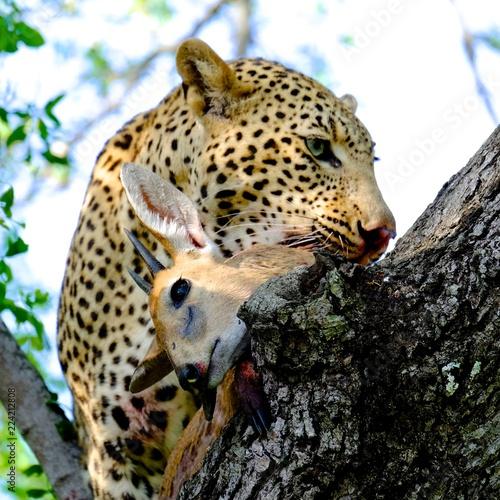Wild Leopard Kill South Africa SAfari