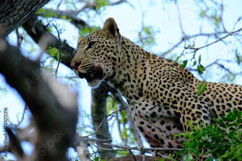 Foto  Wild Leopard Kill South Africa Safari