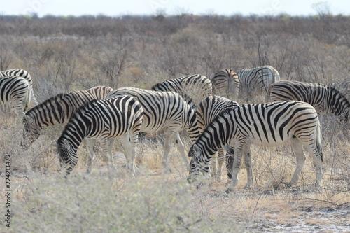 Tuinposter Zebra Zebra in Afrika