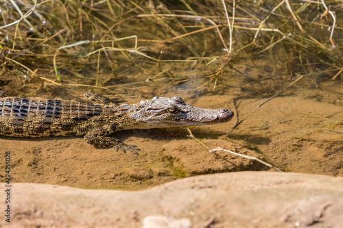 Foto op Plexiglas Krokodil Little crocodile farmed in ponds.