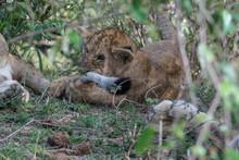 Lion Cub (Panthera Leo) Chewing On Adult Lin Tail Taken In The Maasai Mara Reserve, Kenya