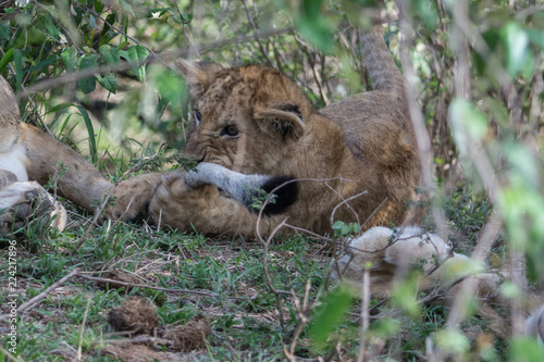 Fotografie, Obraz  Lion cub (Panthera leo) chewing on adult lin tail taken in the Maasai Mara Reser