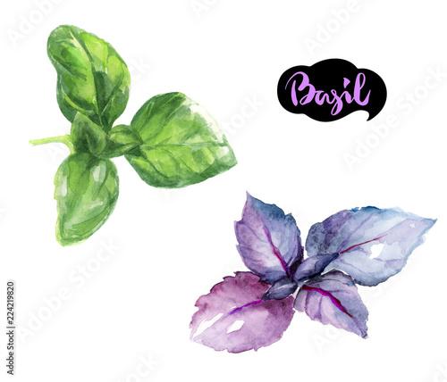 Fotografía basil herb watercolor hand drawn illustration isolated