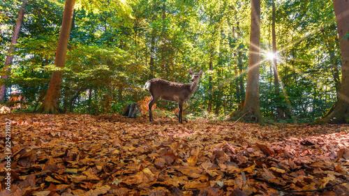 Fotobehang Ree Wald Landschaft im Herbst mit einem Reh
