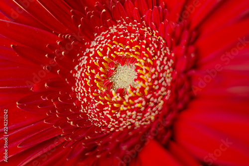 Fotobehang Gerbera gerbera flower red close-up macro