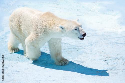 Staande foto Ijsbeer polar bear in the snow