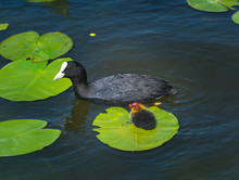 Eurasian Coot (Fulica Atra) With Chick Sitting On Floating Leaf