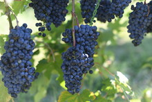 Concord Grapes On Vine