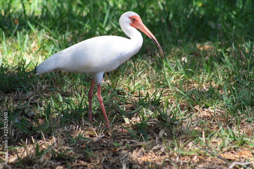 Foto op Plexiglas Vogel White Ibis, bird, white, nature, wildlife