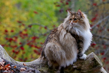Norwegian Forest Cat Female Sitting On A Log