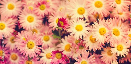 Nature autumn Background with pink chrysanthemum flower