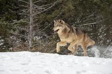 Wolf Running In Winter Forest
