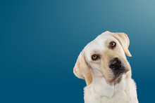 DOG TILTING THE HEAD SIDE AND LOOKING THE CAMERA. ISOLATED AGAINST BLUE COLORED BACKGROUND.