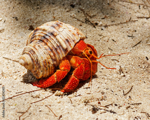 Close-up of a brightly red colored hermit crab (Coenobitidae) carrying a snail s Fototapete